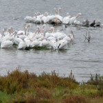 White Pelicans huddling to stay warm