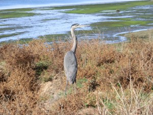 Great Blue Heron (2011 December 3) Bolsa Chica Wetlands