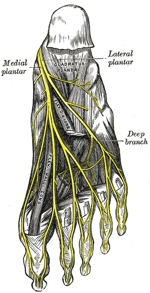 Morton's neuroma reproduction from a lithograph in Gray's Anatomy