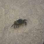 IMG_3806  Crab walking barefoot, Crystal Cove CA