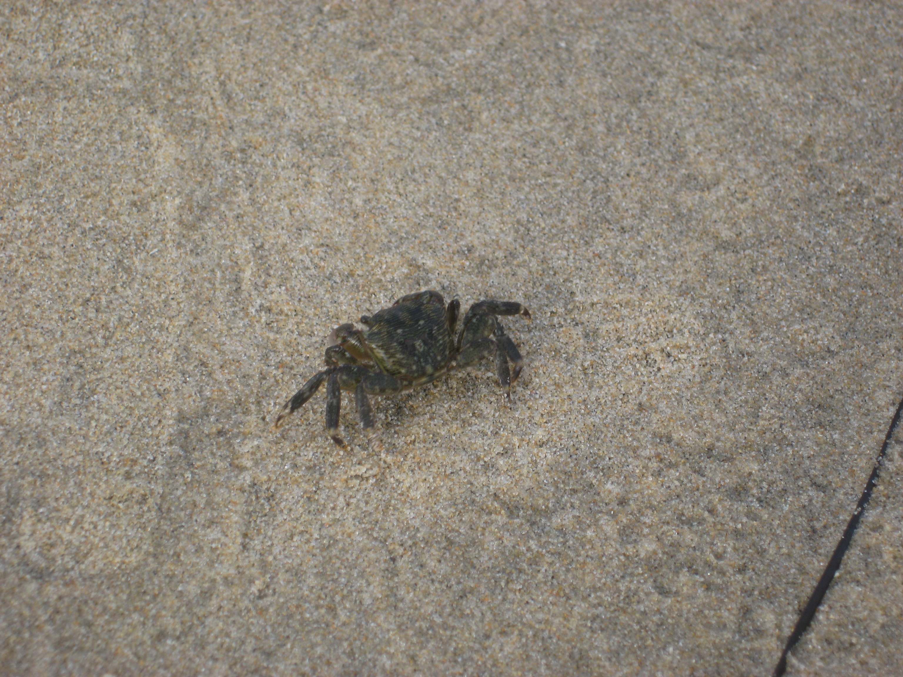 Crab walking barefoot, Crystal Cove CA