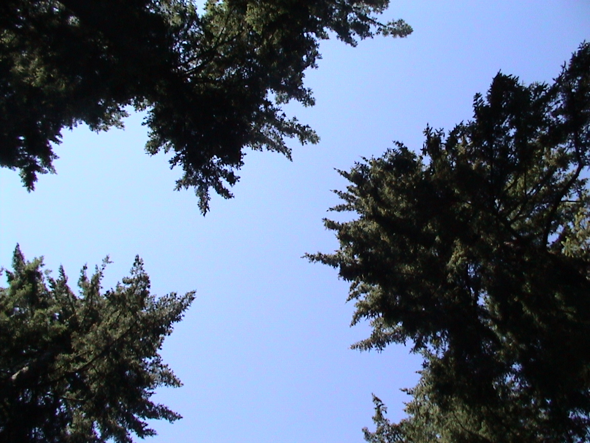 Sky between tall trees