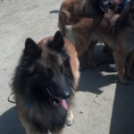 Belgian Sheperds in the upper Bolsa Chica Wetlands