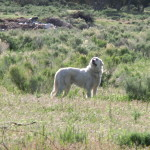 Great Pyrenees working in Utah
