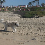 Psycho Herman enjoying the Surf City Marathon while walking at Dog Beach