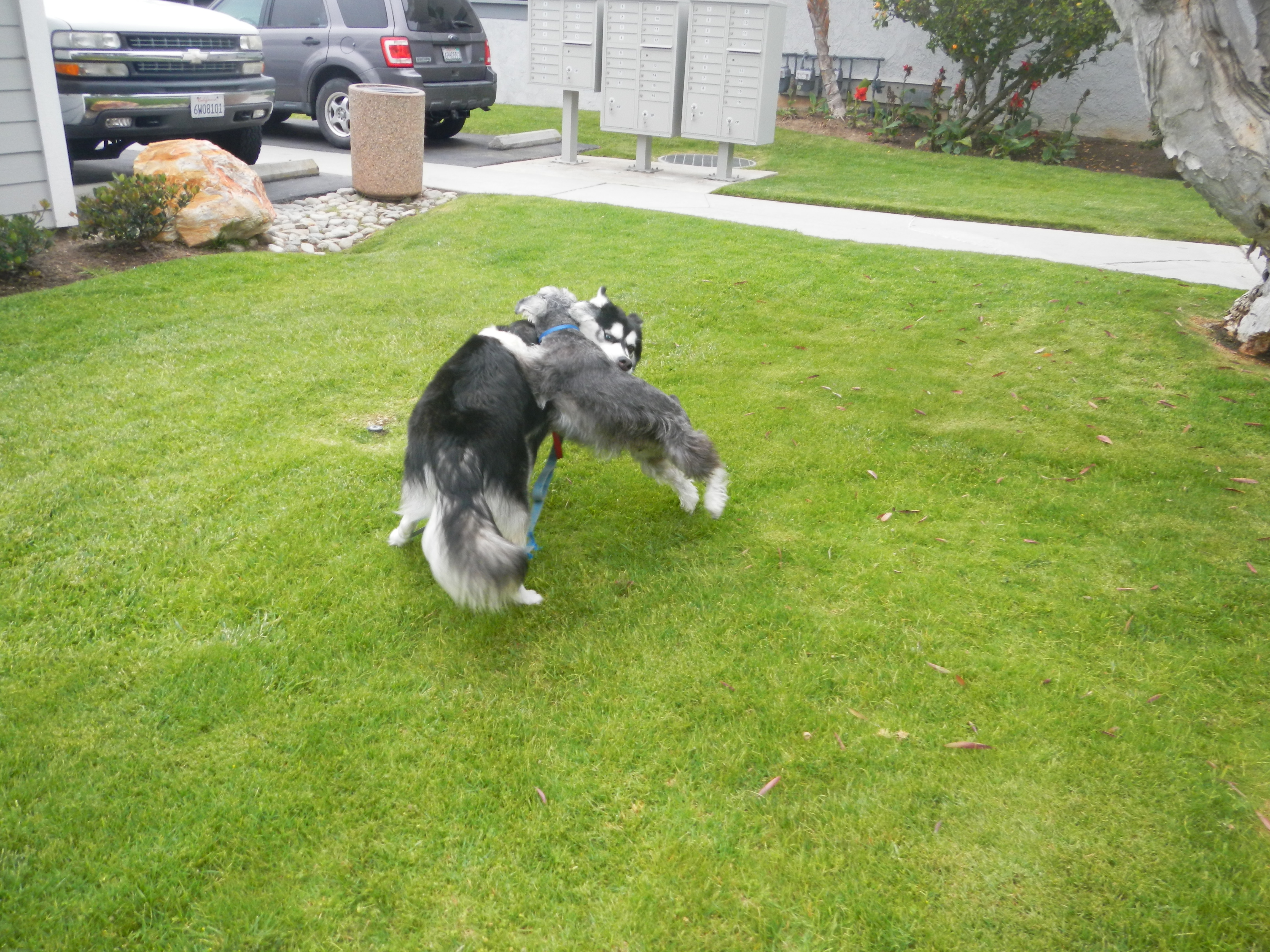 Kay will want to wrestle or run with your dog. He will even let your dog be on top occassionally