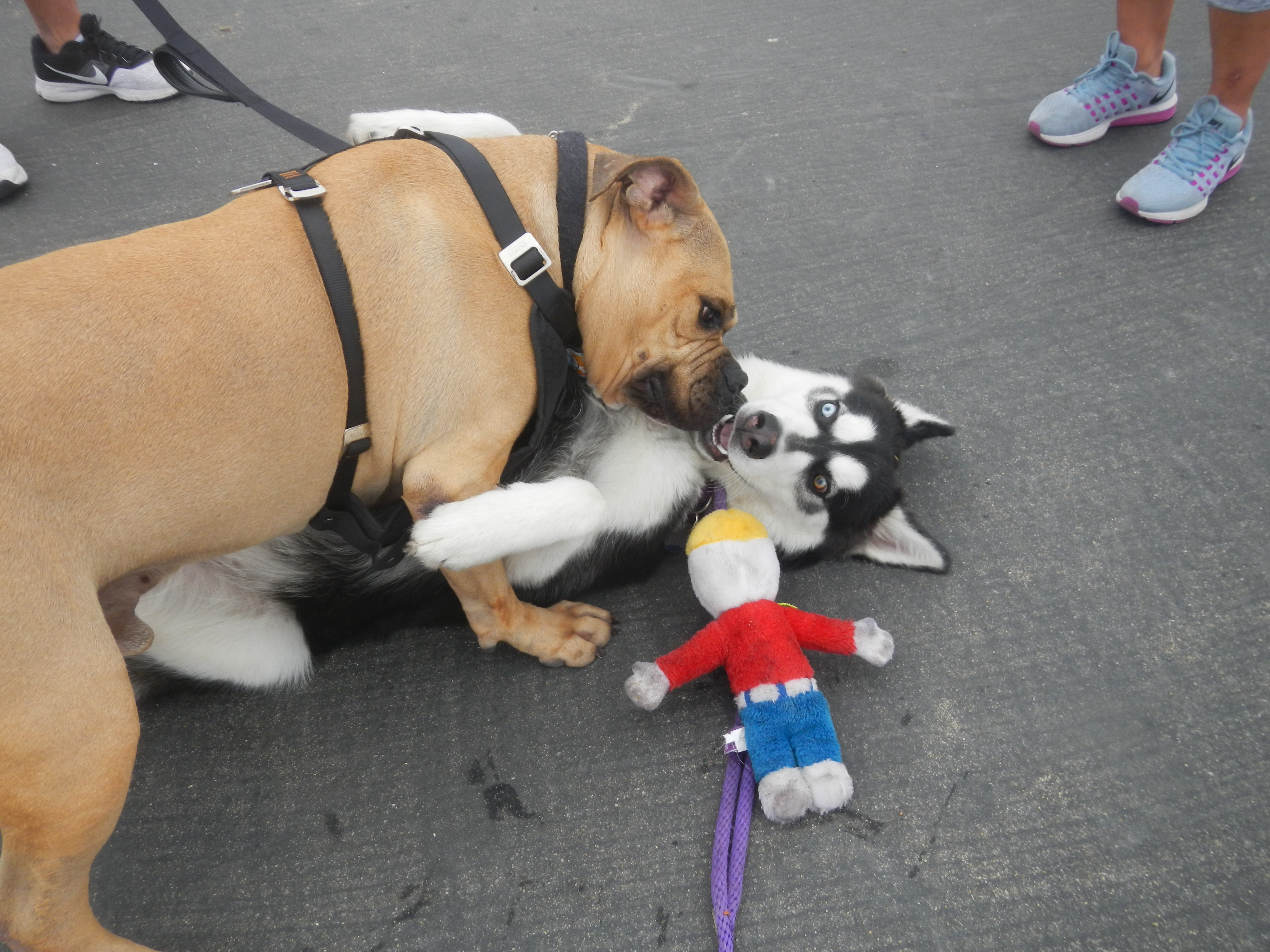 Kay met his match in a bull terrier